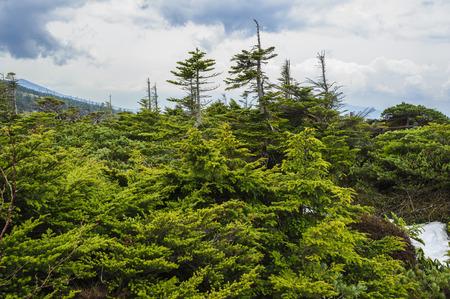 telling: Fresh green larch and stone pine telling the spring to Tsuboniwa