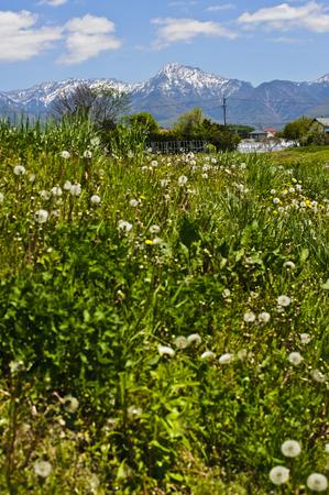 lingering: Yatsugatake of snow from the village of blooming dandelion