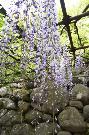yearning: Quietly Castle Ruins of light purple flowers bloom in wisteria trellis