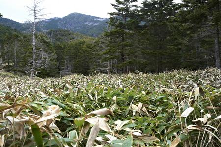 elevation: Elevation 2240m finally Kumazasa wilderness snow is gone