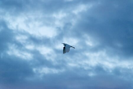 roost: One bird of heron rushing to dusk roost Stock Photo