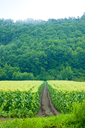 straight path: Corn field