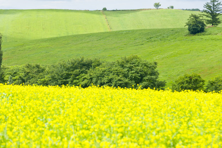 green fields: Hill of rape blossoms of Biei Stock Photo