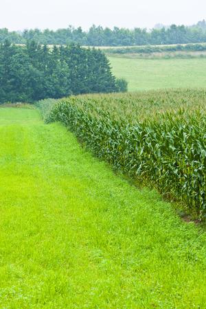 biei: Corn field of Biei