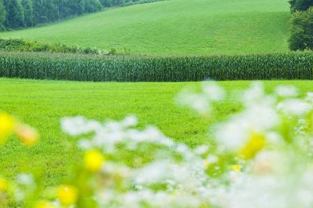 champ de mais: Colline champ de maïs
