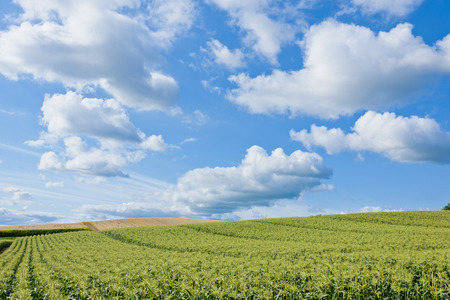 champ de maïs: Vaste champ de maïs