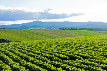 ジャガイモ畑の丘
