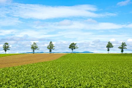 potato tree: Fairy Hill