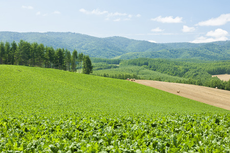 Sugar beet fields Stock fotó - 47819411