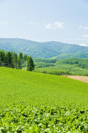 Sugar beet fields Stock fotó - 47819418