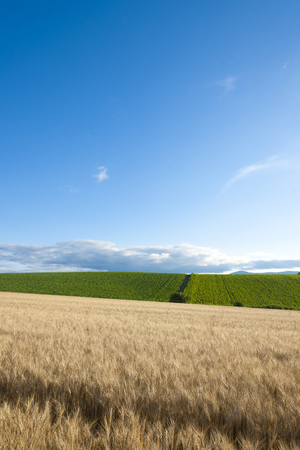 harvest field: Wheat fields and blue sky Stock Photo