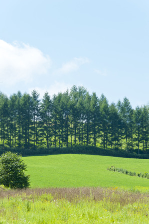 conifers: Conifers and green