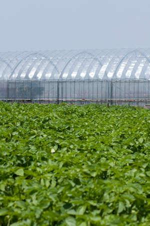 greenhouses: Potato fields and greenhouses Stock Photo