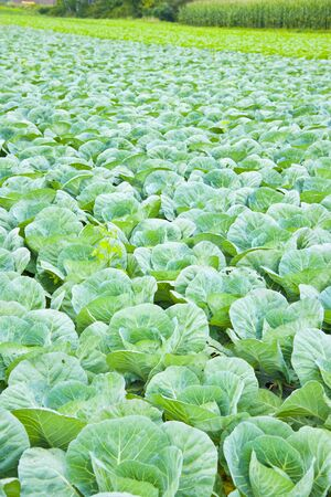 cabbage patch: Cabbage patch of plateau