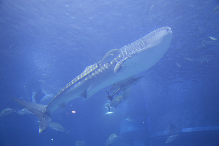 whale shark: Whale shark and remora