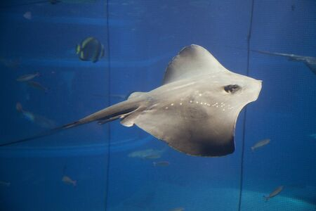 pitted: Snocciolate stingray