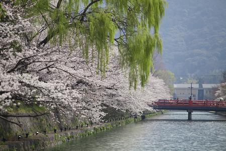 hydrophobic: Sakura of Okazaki hydrophobic