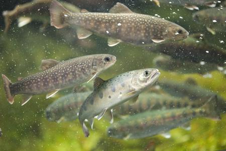 salmonidae: Nikko char and trout
