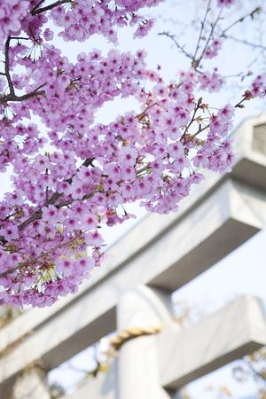 torii: Sakura and Torii