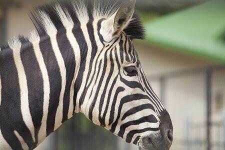 mammalian: Zebra Stock Photo
