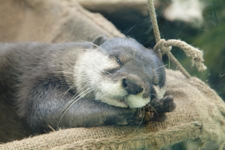 Asiatische kurze gekratzte Otter Standard-Bild - 49911468