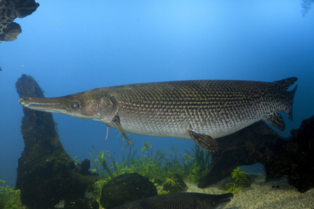 carnivorous fish: Alligator gar