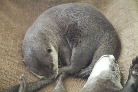 clawed: Asian short clawed Otter