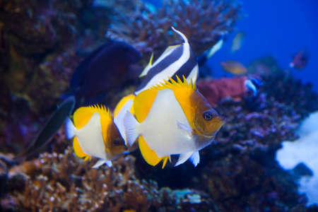 butterflyfish: Kasumi butterflyfish