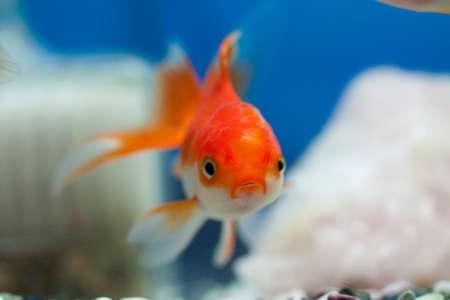 oranda: Goldfish