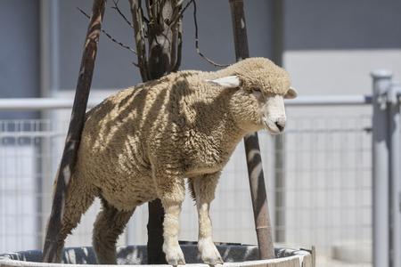 mammalian: Sheep of Tennoji Zoo Stock Photo