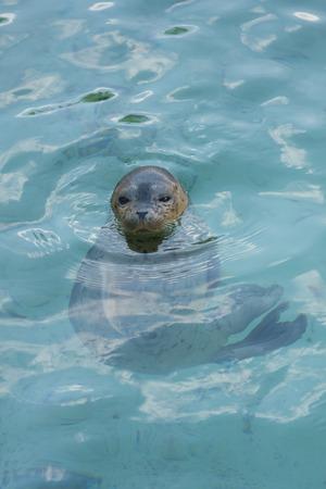 mammalian: Phoca leisurely float Stock Photo