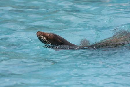 mammalian: Tennoji Zoo sea lions