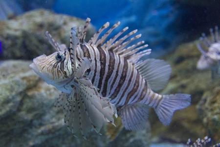 lionfish: Lionfish