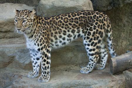 amur: Amur leopard Stock Photo
