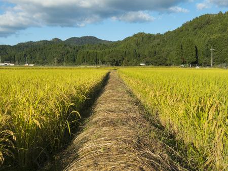 rice fields: Rice fields of footpath