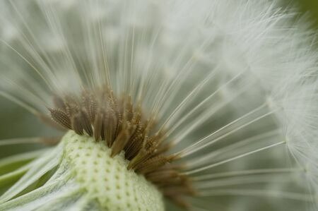 fluff: Half remaining dandelion fluff Stock Photo