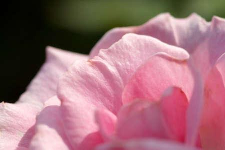 pink rose petals: Pink rose petals Stock Photo