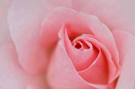 pink roses: Pink roses