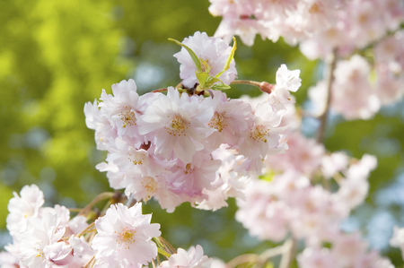 pink cherry: Pale pink cherry Stock Photo