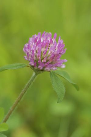 trifolium repens: Acatsmegusa close up Stock Photo