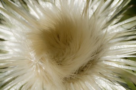 tage: Thistle of fluff Stock Photo