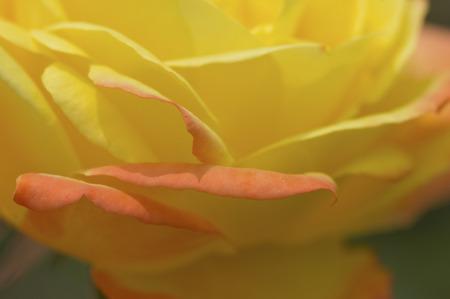 rosas naranjas: Pétalos de rosas amarillas y naranjas Foto de archivo