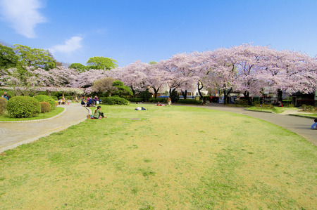 full      bloom: Spend in the park blooming of cherry blossoms in full bloom