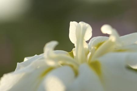 calamus: Petals of the iris that sheer to sunset