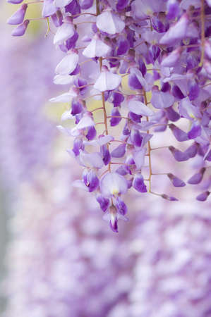 full      bloom: Full bloom of wisteria