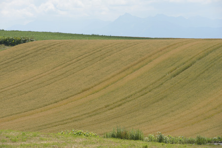 grandeur: Wheat fields of the hills of Biei