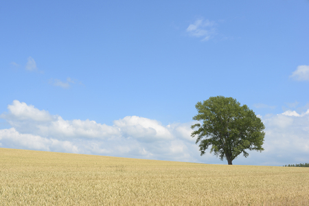 philosophy: Tree of wheat fields and philosophy Stock Photo