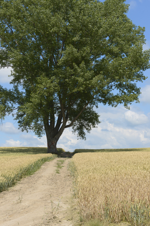 grandeur: Tree of wheat fields and philosophy Stock Photo