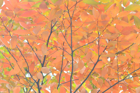 browned: Leaf turns red and yellow zelkova