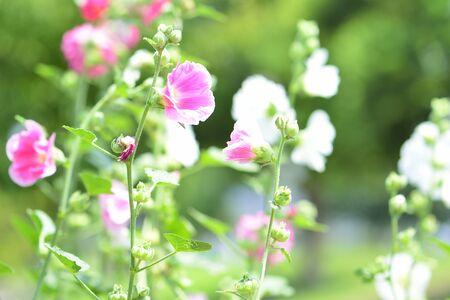 malvaceae: Althaea rosea